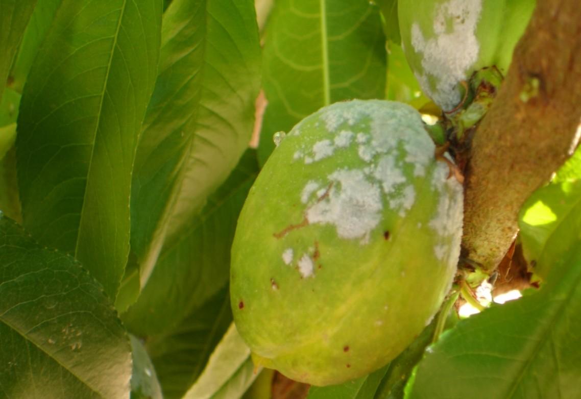 El azufre para uso agrícola: ¿qué beneficios aporta su uso en cultivos de frutales?