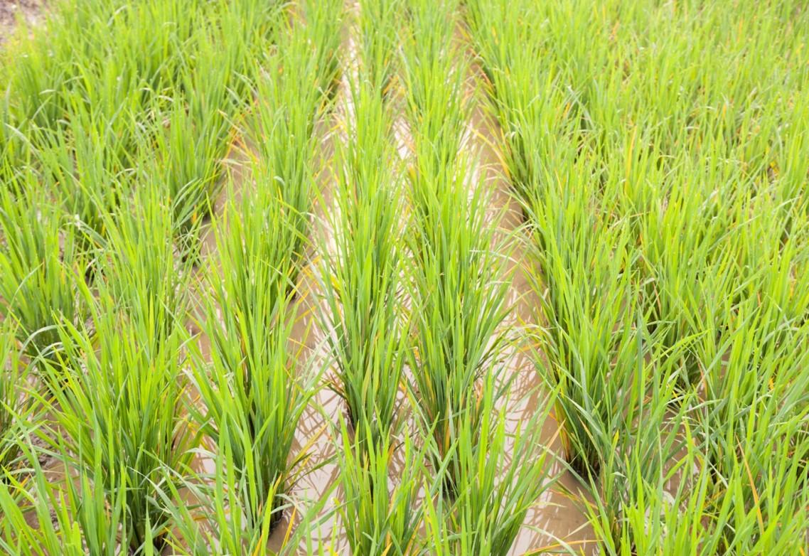 Azufre elemental o azufre en forma de sulfatos: ¿Qué nutrición aplicar a tus cultivos?