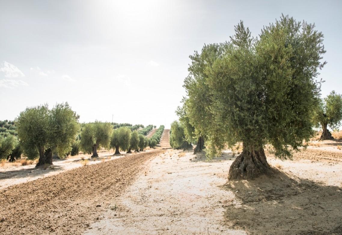 El azufre para uso agrícola: ¿Qué beneficios aporta al olivar?